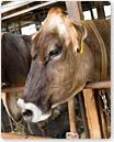 cows_05.jpg